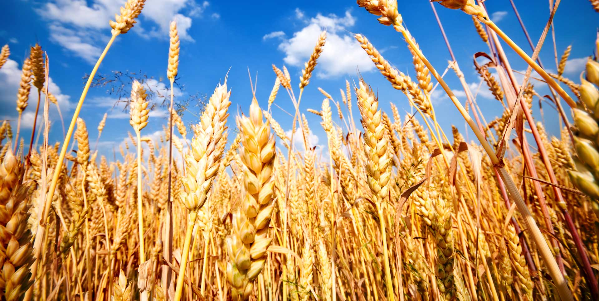 wheat-field-parallax